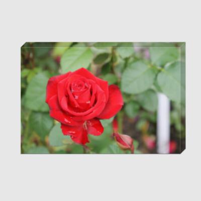 Холст Роза