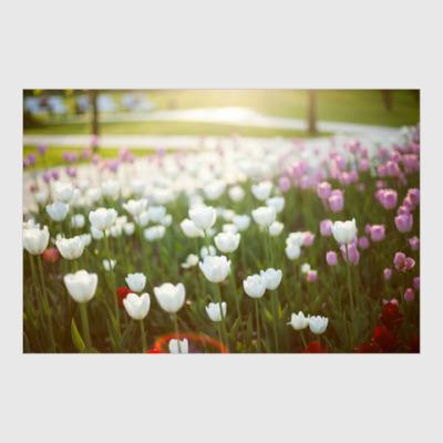 Постер Солнечные тюльпаны